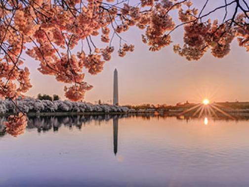 Cherry blossoms around Tidal Basin at sunrise