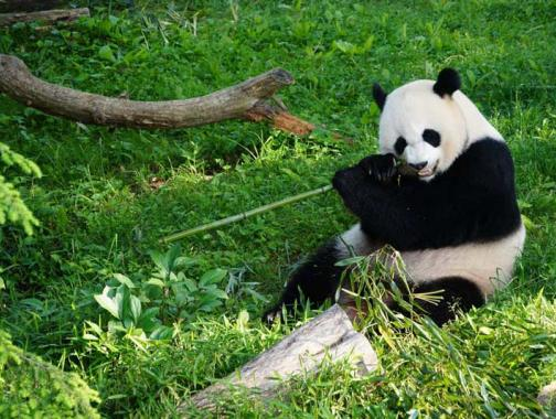 Smithsonian National Zoo Giant Panda - Washington, DC